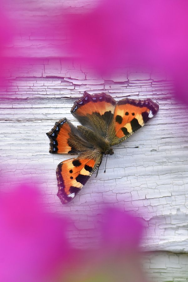 Just a beautiful butterfly.