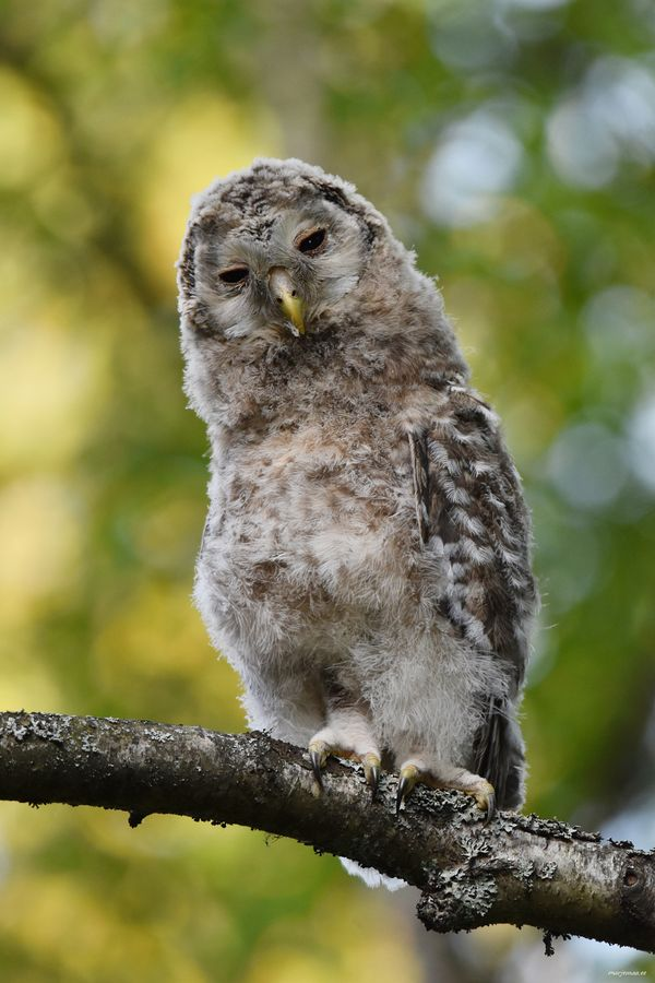 Young Ural Owl.