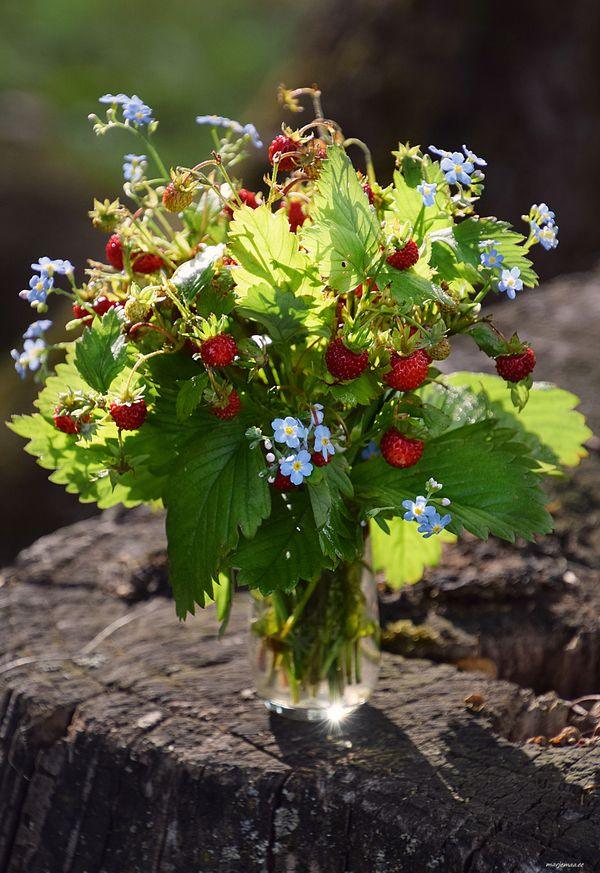 Bouquet ow wild strawberries and don`t forget me flowers.