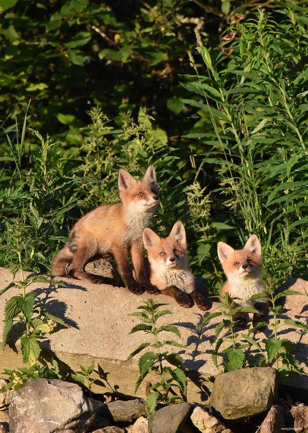 Fox children exploring butterflies.