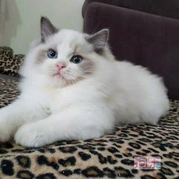 Regdoll cat