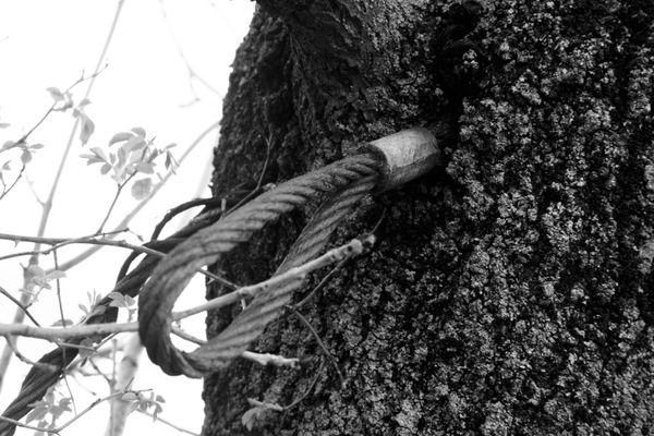 Rope overgrown in tree