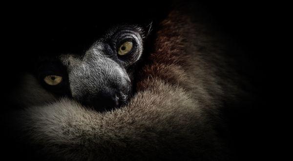 Sleepy Lemur