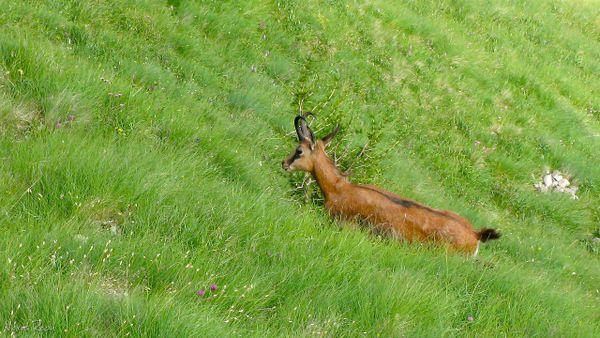Chamois in green grass