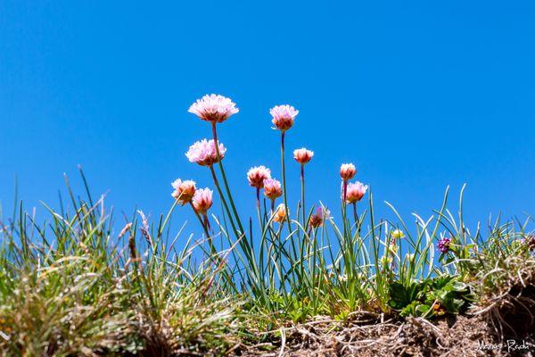 Wild alpine flowers