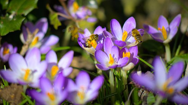 Bumblebees and Crocuses