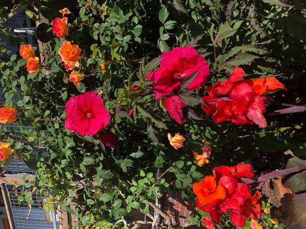 Unique Hibiscus Variety