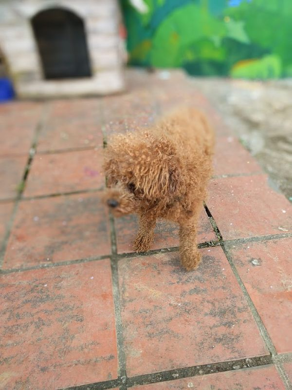 Hanoi Puppy
