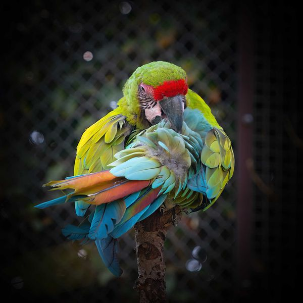 Great Green Macaw!