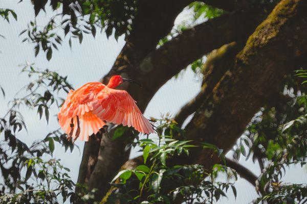 Scarlet Ibis between branches
