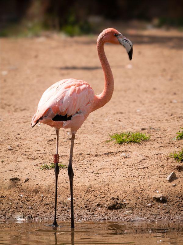 Caribbean Flamingo in the sun