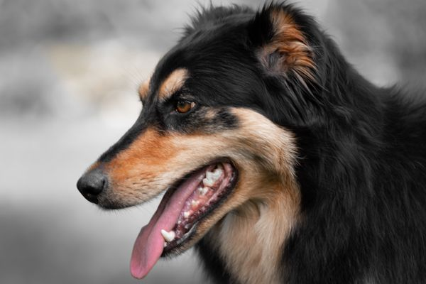 Mixed Rough Collie