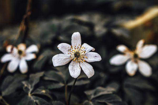 White Wildflowers Desaturated
