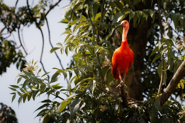 A scarlet Ibis watching from a branch high up
