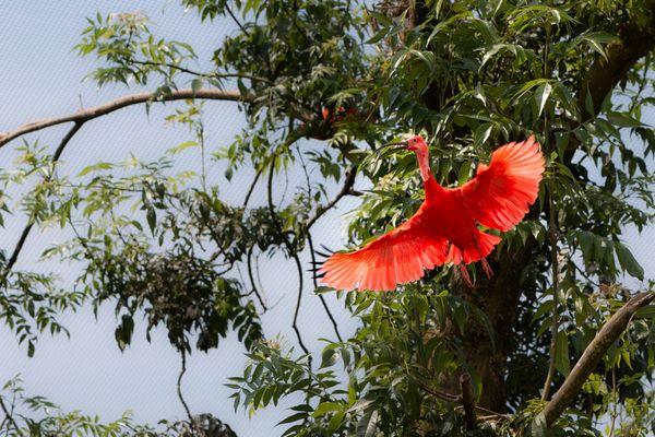 A Scarlet Ibis takes flight