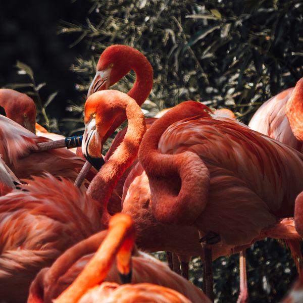Basking Flamingos