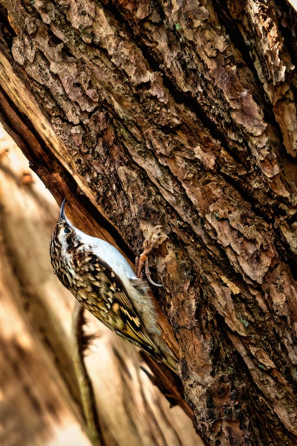 Treecreeper at Dibbinsdale Nature Reserve