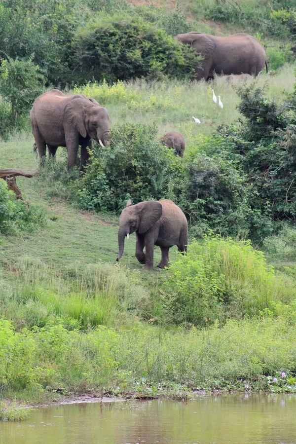 Grazing Elephants on the River Kruger National Park SA