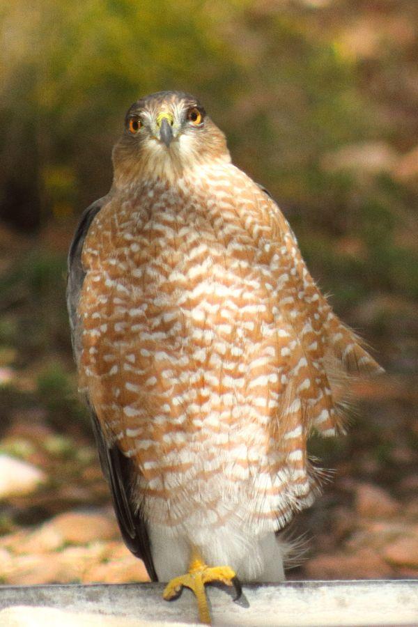 Hawkster