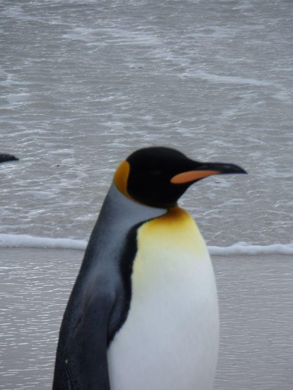 King Penguin Close Up