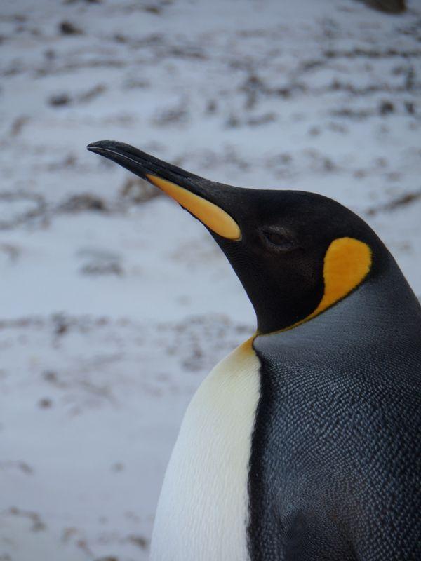 King Penguin Close Up 2