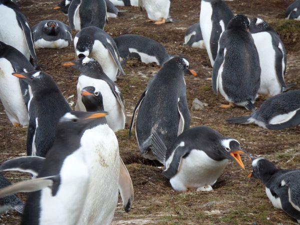 Gentoo Penguin Group