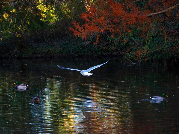Seagull gliding over the pond