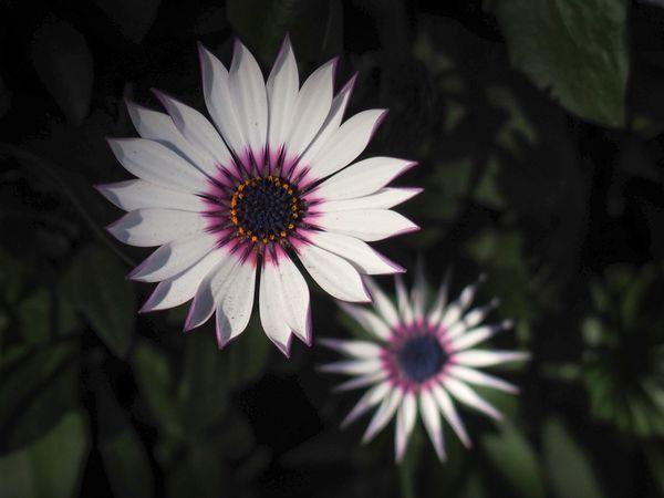 White Osteospermum Flower