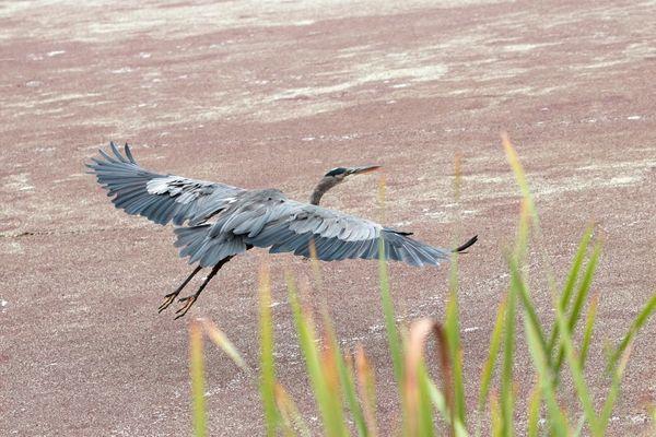 Great Blue Herons  (Ardea herodias)