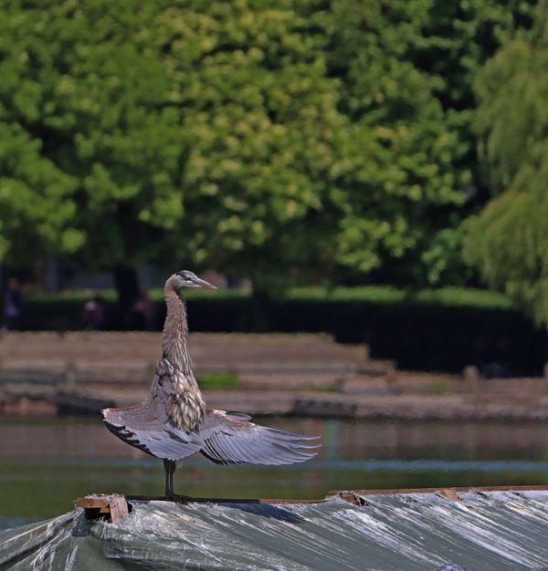 Great Blue Heron ( Ardea herodias)