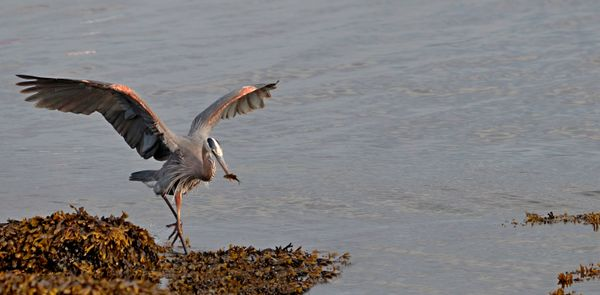 Great Blue Heron to the rescue