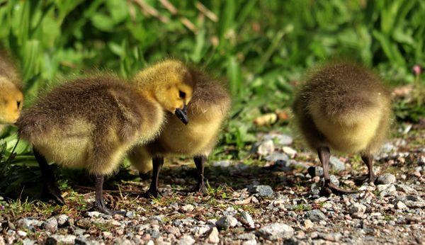 Lean on me (Canada Goose Gosling)