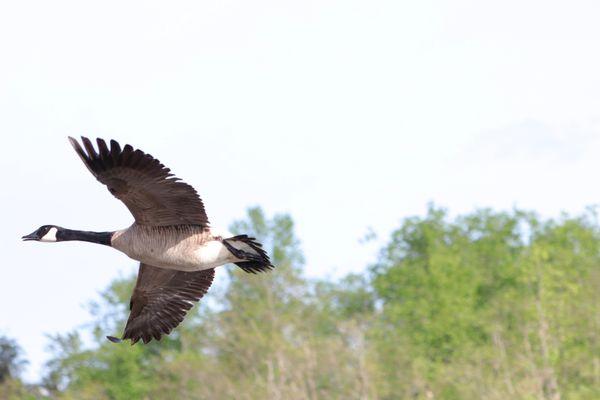 Canada Goose in Flight ( Branta canadensis)