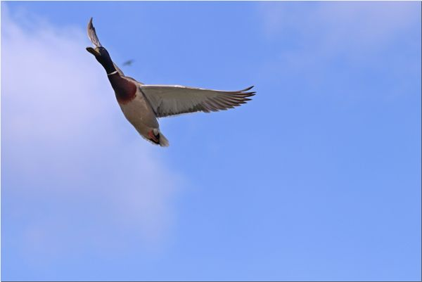 Quitting Time (Male Mallard Duck -Anas platyrhynchos)