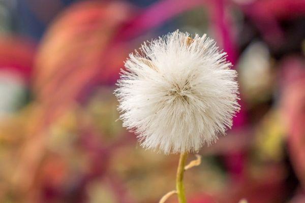 Puffy flower :)