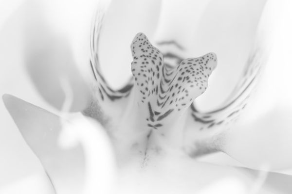 The heard of an orchid B&W