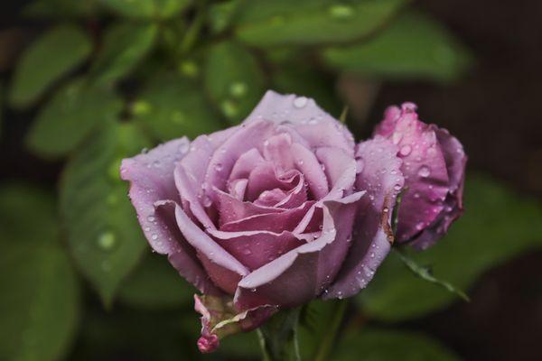 Pink rose_1