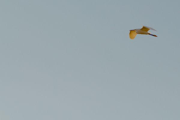 Egret in flight 3