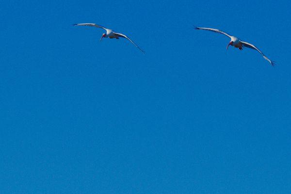 Ibis pair in flight