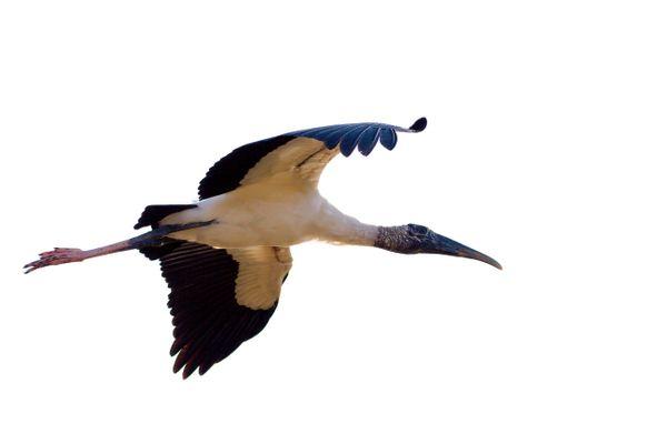 Stork in flight 8