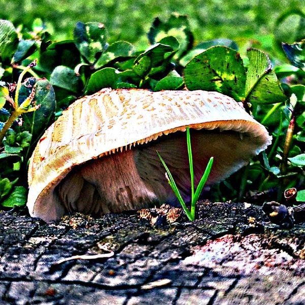 Mushroom on a stump