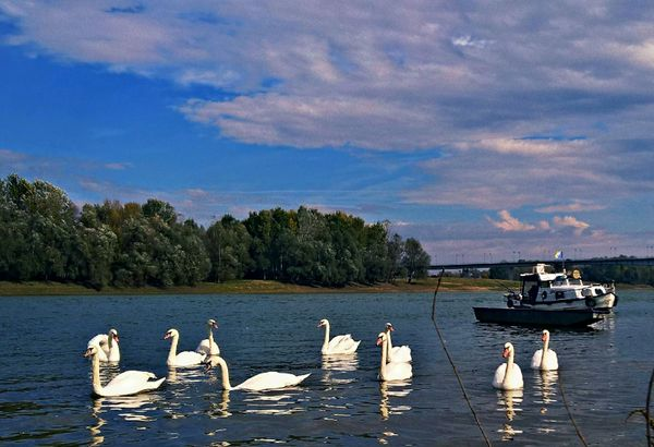 Swans on the river Sava #1.1