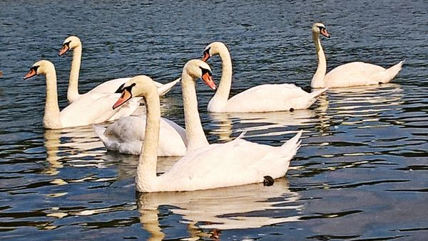 Swans on the river Sava #1