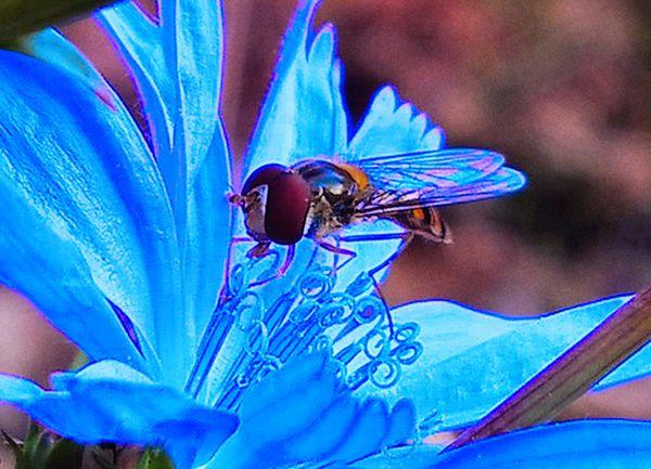 Hoverfly on a cikoria flower
