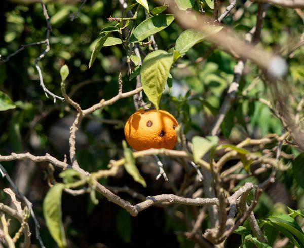Spooky Tangerine