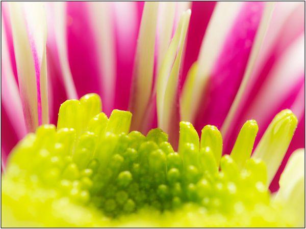 Chrysanthemum indicum hybrid