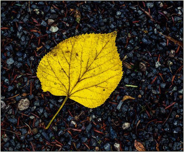 Lime Tree Leaf