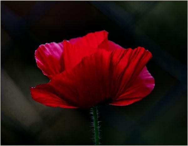 Super Red Poppy