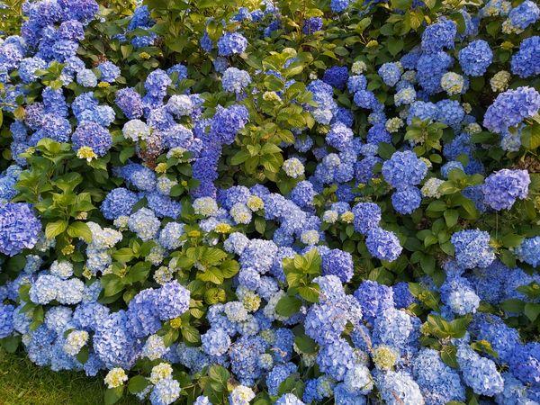 MASS OF BLUE HYDRANGEA FLOWERS