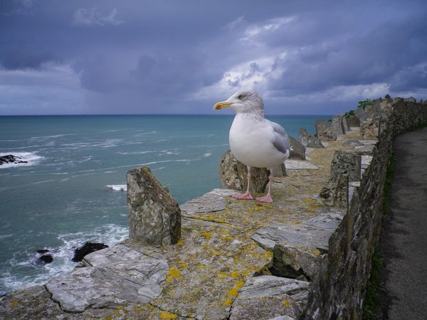 NONCHALANT SEAGULL ON WALL SEASCAPE PORT ISAAC CORNWALL